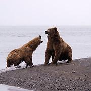 Alaskan Brown Bear (Ursus middendorffi)  Female fending off male, male interested in mating . Katmai National Park. Alaska.