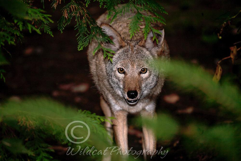 Coyote peeking through tree limbs