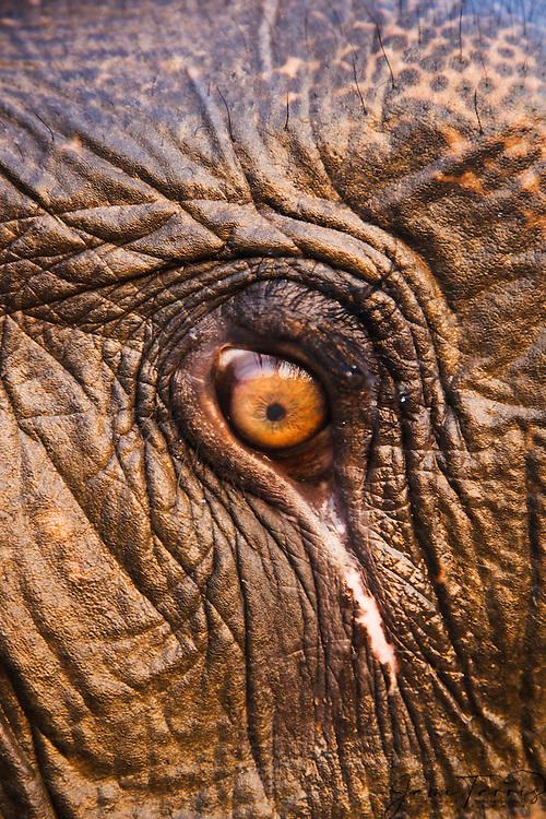 Close up image of eye of an Indian elephant  ( Elephas maximus ) , Kaziranga National Park, Assam, India