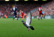 A pigeon lands on the pitch during play during the Premier League match at Anfield, Liverpool. Picture date: 7th March 2020. Picture credit should read: Darren Staples/Sportimage