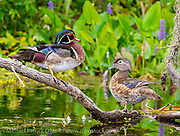 A pair of Wood Ducks, Aix sponsa, rests on a branch in Silve Springs State Park, Florida.