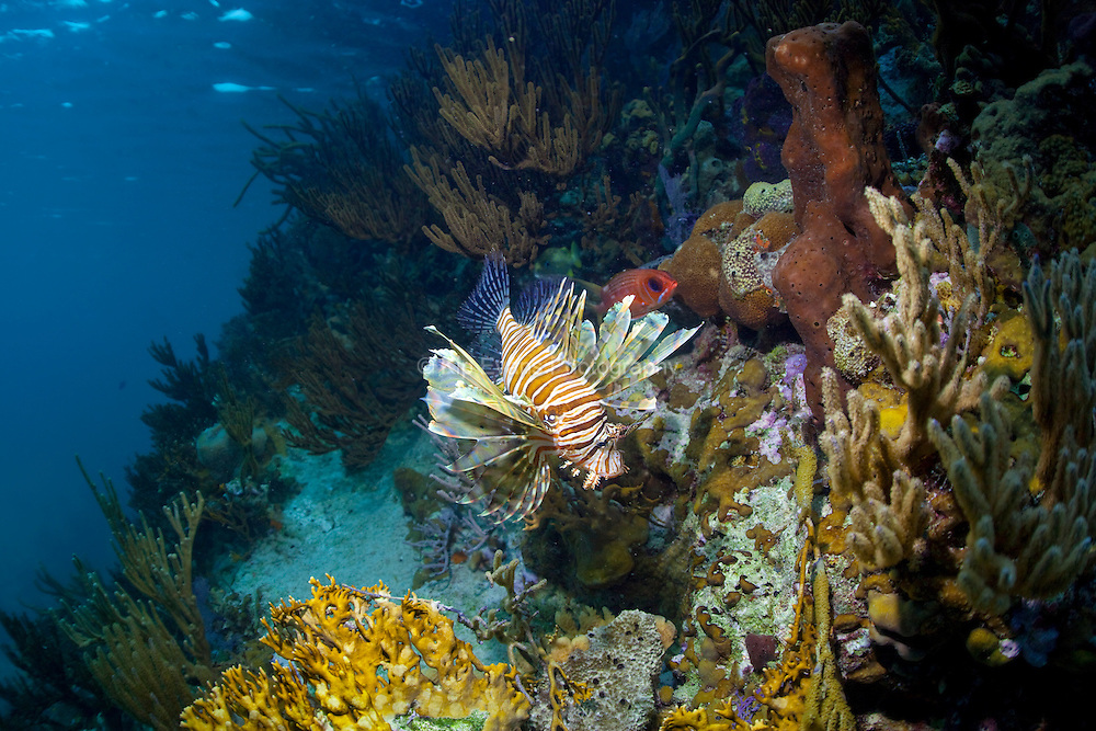 A lionfish on a coral reef at the Bahamas.