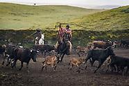 Rounding up the Bulls of Hacienda El Tambo, Ecuador