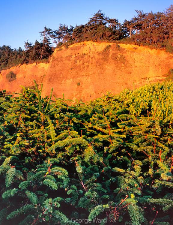 Sitka Spruce and Cliffs at Sunset, Gold Bluffs Beach, Prairie Creek Redwoods State Park, Redwood National Park, California
