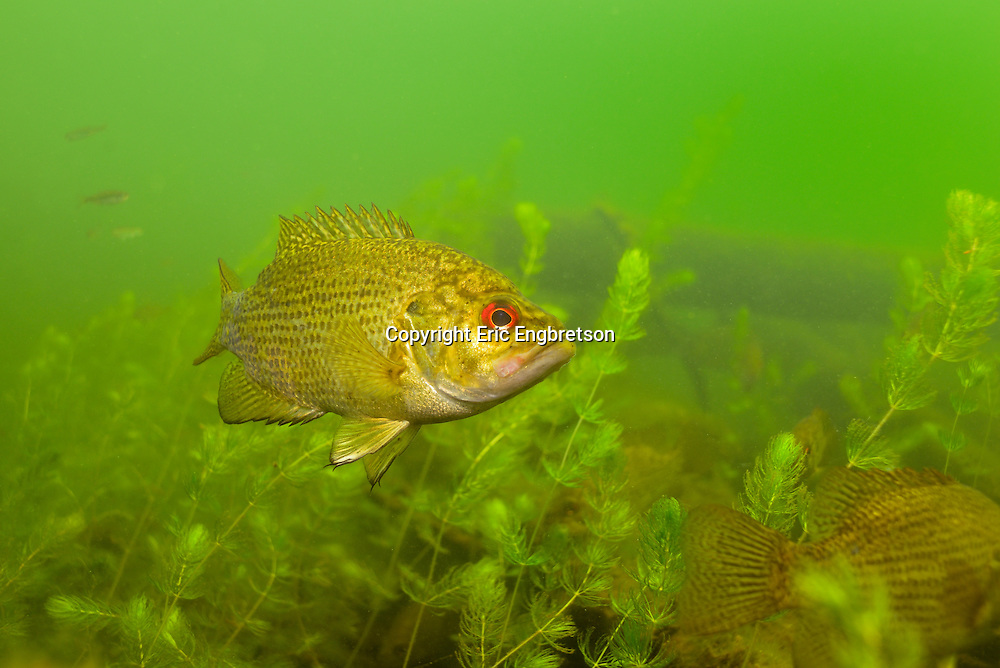 Rock Bass<br /> <br /> Engbretson Underwater Photography