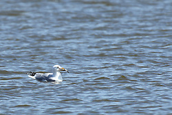 Ring-billed Gull (Larus delawarensis) is a medium-sized gull. The genus name is from Latin Larus which appears to have referred to a gull or other large seabird