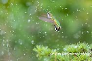 01162-15409 Ruby-throated Hummingbird (Archilochus colubris) bathing in sprinkler Marion Co. IL