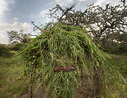 Women building a Hadza house, made of branches and grass. The Hadza camp of Senkele.