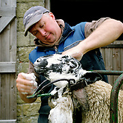 Hill farmer, Tim Dunn washes his Swaledale sheep (in preparation for showing at a local agricultural show) at Breck House (farm), Bransdale, North York Moor, North Yorkshire, UK