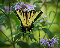 Eastern Tiger Swallowtail butterfly. Image taken with a Nikon Df camera and 300 mm f/4  lens