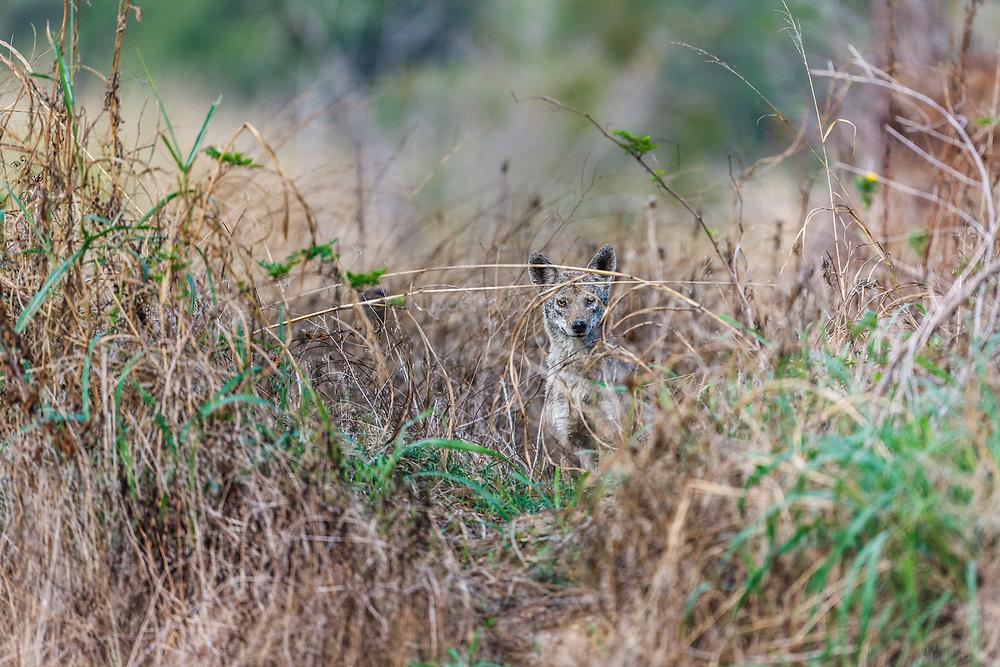 Coyote peering through grass, Trinity River Audubon Center, Dallas, Texas, USA.