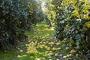 Israel, Hula Valley, Kibbutz Hulata, Citrus Grove pomelo trees The un-picked fruit has fallen to the ground