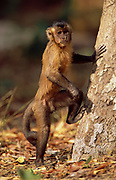 Brown Capuchin Monkey<br />