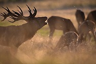 Red deer, Cervus elaphus, Dyrehaven Royal deer park, Klampenborg, Copenhagen, Denmark, Large enclosure