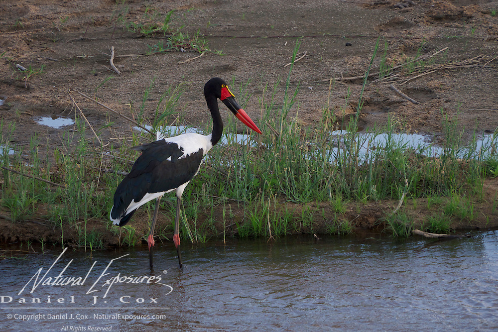 Saddle-billed Stork. MalaMala Game Reserve. South Africa.