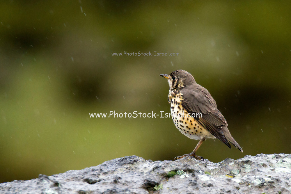 A Groundscraper thrush (Psophocichla litsitsirupa - previously Turdus litsitsirupa) on the ground feeding on insects, attracted to a water-hole. This solitary bird is found in open woodlands and gardens in parts of Africa. It forages on the ground for insects, molluscs and other invertebrates, flying for cover in trees if disturbed. Groundscraper thrushes are rather tame and are often seen in picnic spots in national parks and in gardens. Photographed in Ethiopia