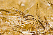 Ripening barley, Bourton on the Water, The Cotswolds, Gloucetershire, United Kingdom