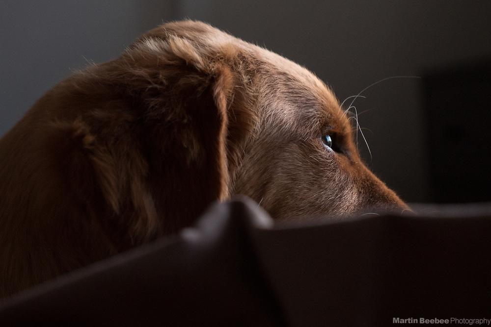 Golden retriever puppy in early morning light