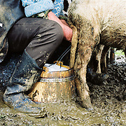 Shepherd hand milking a sheep at a sheepfold in the Carpathian Mountains. Each flock of around 500 sheep is based at a stana or sheepfold, a very basic hut in a clearing with a strunga or milking enclosure of hurdles which is moved every few weeks in good weather or weekly in bad. Whereas in most countries sheep are reared for wool and meat, in Romania these are seen as by-products and the real purpose of the flock is to produce branza or cheese.