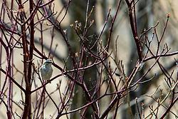 Golden-crowned Kinglet (Regulus satrapa)