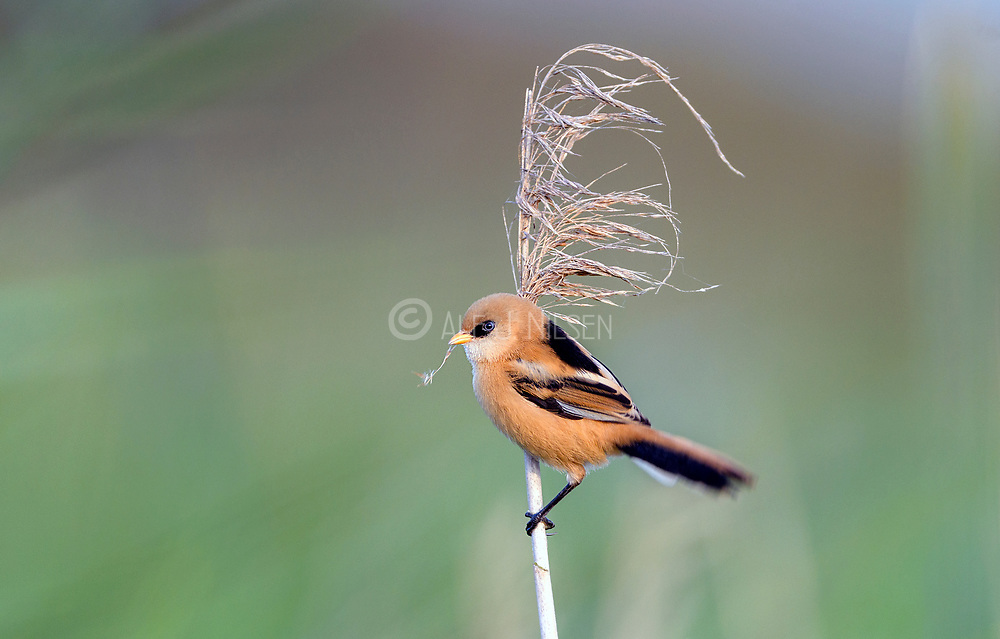 Young male bearded tit (Panurus biarmicus) from Vejlerne, northern Denmark in August 2021.