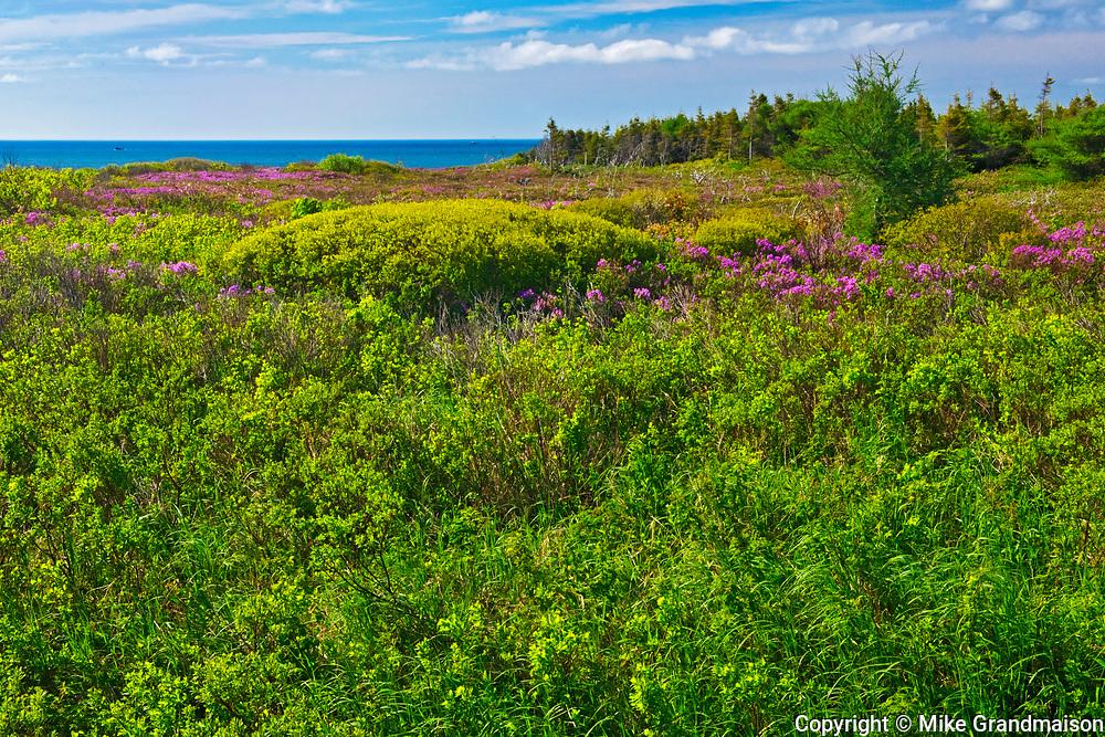 Laurel on the shoreline on the  south shore of Miramichi Bay, Escuminac, New Brunswick, Canada