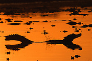 """Jacare Caiman """"Booming"""" for Display<br />Caiman crocodilus yacare<br />Pantanal, BRAZIL. South America<br />RANGE; Pantanal of Brazil, Bolivia and Paraguay"""