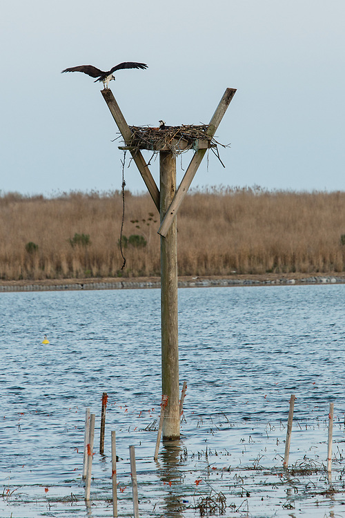 An osprey landing on a nesting perc, and anotehr on its nest, in the salt marsh at the Salt Marsh Nature Center in Brooklyn's Marine Park.