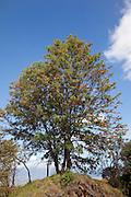 Silver Oak tree, road to Haleakala, Upcounty Maui, Hawaii