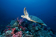 hawksbill sea turtle, Eretmochelys imbricata, Critically Endangered Species, Richilieu Rock, Surin Islands, Thailand, Andaman Sea ( Indian Ocean )