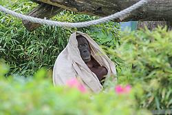THEMENBILD - Die Orang Utans sind eine Primatengattung aus der Familie der Menschenaffen, aufgenommen am 19.05.2019 im Tiergarten Schönbrunn in Wien, Österreich // The orangutans are a primate genus in the family of great apes, pictured on 2019/05/19 at the Tiergarten Schönbrunn at Vienna, Austria. EXPA Pictures © 2019, PhotoCredit: EXPA/ Lukas Huter