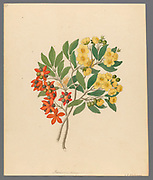 Icosandria monog. [Ochna arborea] (1817) AKA Elaeocarpus integrifolius from a collection of ' Drawings of plants collected at Cape Town ' by Clemenz Heinrich, Wehdemann, 1762-1835 Collected and drawn in the Cape Colony, South Africa