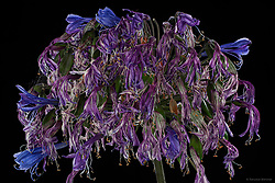Santa Barbara photographer who specializes in close up photography of food, flowers and plants. Close-up photos showing the beauty of imperfection and impermanence.