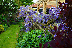 No longer open to the public, the spectacular gardens renowned for their wisteria are the work of dedicated gardener Judith Wilson, who has tended her wisteria and encouraged its growth for over thirty years.May 13 2018.