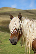 Horse in Vallee d'Ossau near Laruns in Parc National des Pyrenees Occident, France