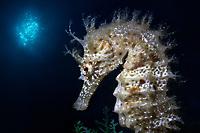 12/Octubre/2018 Islas Baleares. Formentera.<br /> Caballito de mar (Hippocampus guttulatus) en la inmersión de El Arco con Buceo Vellmarí.<br /> <br /> ©JOAN COSTA