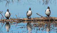 Male Northern Pintails, Anas acuta, at Colusa National Wildlife Refuge, California