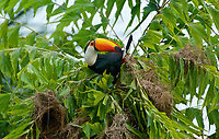 Toco Toucan (Ramphastos Toco) attacking nests ,  Jardim d' Amazonia Ecolodge, Mato Grosso, Brazil
