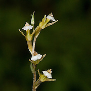 Cyclopogon sp. an orchid near the Interoceanic highway in Peru