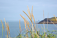 Icelandic Grass Seed and Driftwood on the coast of Vestmannaeyjar Iceland. Image taken with a Nikon 1 V2 camera and 10-100 mm VR lens (ISO 160, 39 mm, f/5.6, 1/1000 sec). Nikonians Academy Iceland Photo Adventure.