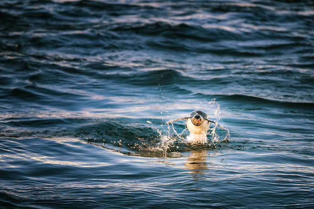 Penguin jumping out from the water, Antactrica