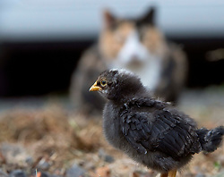June 8, 2017 - Roseburg, OREGON, U.S - A cat keeps a close watch as week-old baby chicks explore the farm yard on a ranch near Elkton in rural southwestern Oregon. (Credit Image: © Robin Loznak via ZUMA Wire)