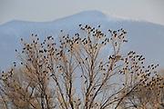 Bohemian Waxwings,Montana