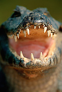 Yacare caiman, Caiman yacare, Pantanal, Brazil