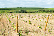 Newly planted young vines on Route Touristique du Vignobles Nantais, Loire Valley, France