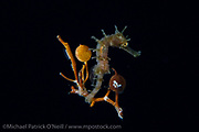 A Lined Seahorse, Hippocampus erectus, holds on to a strand of Sargassum Seaweed while drifting at night in the Gulf Stream current offshore Palm Beach, Florida, United States.