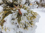 Iced over pine cones in Yellowstone National Park, Wyoming, USA
