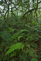 Rain forest interior view with ferns, moss covered branches and lianas and mist.  Caldera on Bioko Island, Equatorial Guinea.