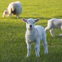 Newborn lambs in a green field<br />