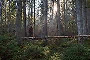 Foggy spring morning in spruce (Picea abies) forests rich with natural habitat structures, Kemeri National Park (Ķemeru Nacionālais parks), Latvia Ⓒ Davis Ulands   davisulands.com